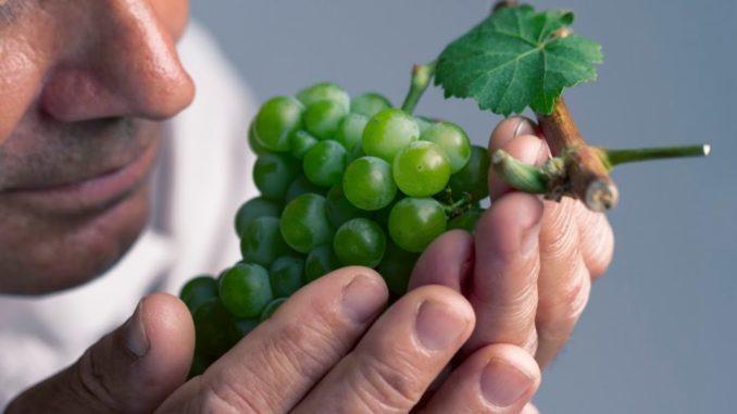 Persona mayor oliendo uvas