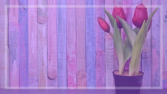 primavera lila