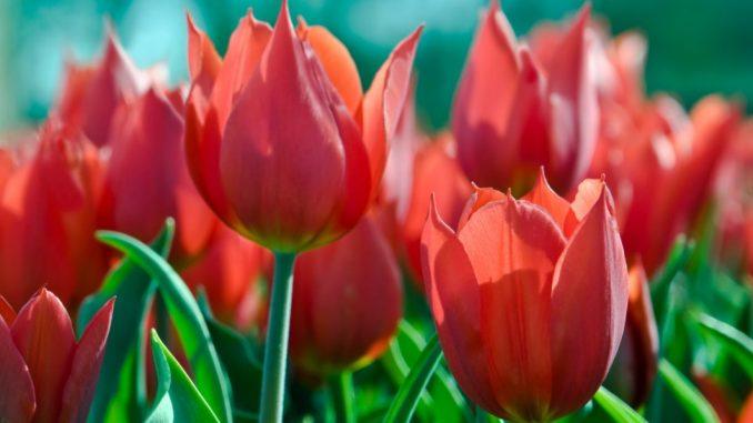 tulipan parkinson